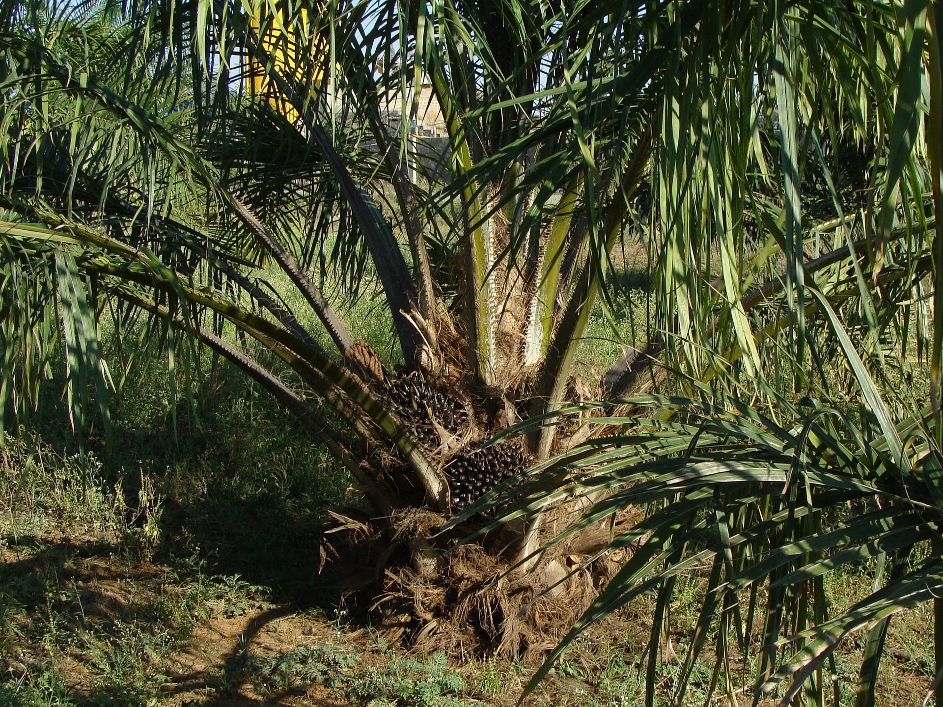 Olej palmowy – przyjaciel czy wróg?